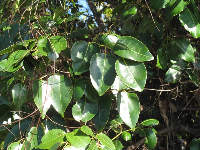 poisonwood (Metopium toxiferum)