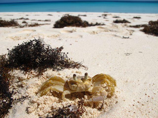 strand krabba